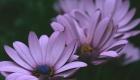 Mauve Flower Row