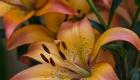 Peach Lilies