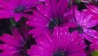 Purple Flowers in Rain